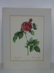 Vintage Botanical Art Prints Rosa Turbinata P J Redoute Paris Etchings Roses