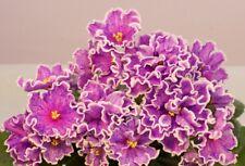 African Violet Ek Almazi Yakutii Rus / Ukr ,plant in 3 oz cup