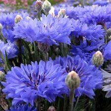 Cornflower Blue Centaurea Cyanus Dwarf Tom Pouce 50 Seeds  Garden Seeds 2u
