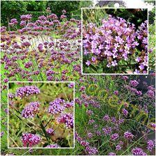 Blumen Saatgut Samen Eisenkraut Verbenen kompakte bunte Prachtmischung