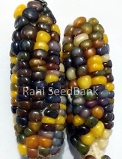Corn Gemstone - A Stunning & Beautiful Gemstone Lookalike Corn Variety!!!