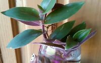 RARE! Tradescantia Cerinthoides Green with Purple Back Fuzzy Leaves USA Grown!
