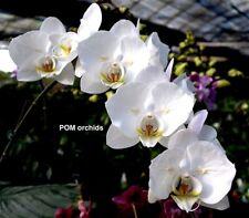 Taiwan Orchidee Phalaenopsis SOGO YUKIDIAN Pelorisch