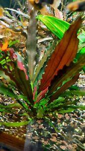 Echinodorus Magrebian