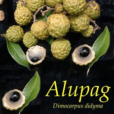 ~ALUPAG~ Cat's Eye Dimocarpus didyma RARE FRUIT TREE Mata Kuching Potd Sml Plant