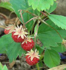 Alpine Wild Strawberry Seeds : Fragaria virginiana