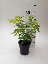 Plantes par Orange du Mexique - Choisya Ternata