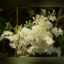 H034 Meadowsweet, Filipendula x50 seeds