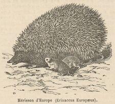 C8428 Erinaceus Europaeus - Stampa antica - 1892 Engraving
