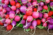 Easter Egg Radish *Heirloom* Non-GMO (300 Seed's)