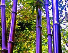 50 Semillas De Púrpura Timor Bambú Bambusa lako Árbol