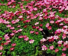 "Pack x6 Pimpinela ""mixta"" Alpine rocosa plantas perennes Plug"