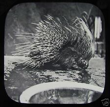 Victorian Glass Magic Lantern Slide Porcupine C1890 In Captivity Zoo