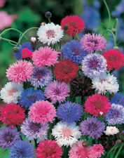 Centaurea Dwarf Choice Mix Seed Annual for Poor Soils Good Colour