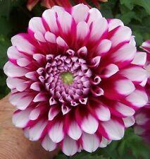 100X Red White spot  Dahlia Flower Seeds Beauty Easy to grow Home Garden Flower