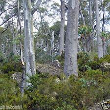 Eucalyptus AUSTRILIN HYBRIDE  30 seeds , #STS- 5562 #, Furniture