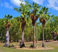 RARE WASHINTONIA ROBUSTA @ mexican fan palm tree ornamental palms seed 25 seeds