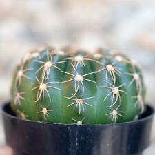25 Seeds Notocactus Uebelmannianus Succulent Cactus Plant Garden Cacti