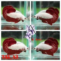 [345_A3]Live Betta Fish High Quality Male Red Dragon Plakat 📸Video Included📸