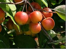 Crab apple-malus sylvestris - 25 graines-arbre fruitier-couverture-couverture