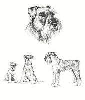 Schnauzer - 1963 Vintage Dog Print - Matted *