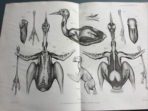 Antique Rhinochetus Cancroma Cacatua Print Original Lithograph c1890 Australia