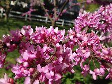 30 Samen Cercis canadensis - Kanadischer Judasbaum