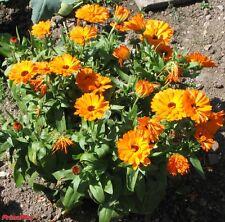 Ringelblume Calendula officinalis Цветы календулы 50 g