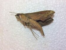 SALE TOGA2-25 A X 10PCS  Sphingidae CLEARING HOUSE  Butterflies & Moths