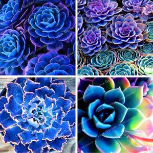 Blue Succulents Lithops Cactus Stone 100 Pcs Seeds Flowers Pseudotruncatella NEW