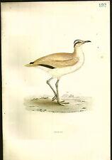 1870 ORIGINAL Hand Colored Bird Plate RARE Courser Shore Bird