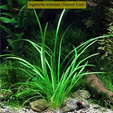 🌱Stunning Dwarf Sagittaria Pusilus NarrowLeaf Live Aquarium Plants Ez2Grow*