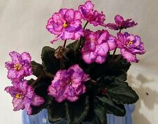African Violet Rob's Mad Cat Starter Plant Semi Miniature Double