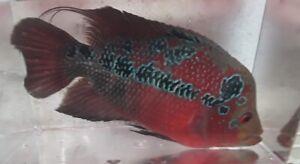 SALE  Flowerhorn Cichlid