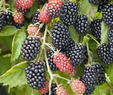 Blackberry Loch Tay 2L Bush Soft Fruits Black Berries Edible Fruit Bush 3 Years