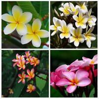 10 X Plumeria samen Frische samen mischen farben Garten Pflanzen New
