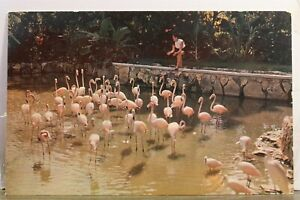 Bahamas Nassau Ardastra Gardens Flamingos Postcard Old Vintage Card View Post PC