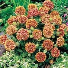 Gaillardia-Pulchella- Sundance - Bi-color- 25 seeds - Bogo 50% off Sale