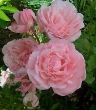 Duchesse de Brabant, 5+ cuttings, Earth Kind Fragrant  beautiful pink TEA rose