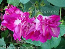 Prunkwinde IPOMOEA SUNRISE rouge rempli 20 Samen Plante grimpante Brise-vue