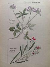 DIETRICH, D. Nathaniel Friedrich Flora Universalis 1831-1861 Botanica PSORALEA