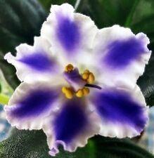 African violet plant LEAF leaves cutting RS TAJSTWIENNYJ STRANNIK (RUSSIAN)