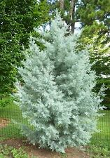 Cupressus arizonica glabra BLUE ICE CYPRESS Seeds! RARE