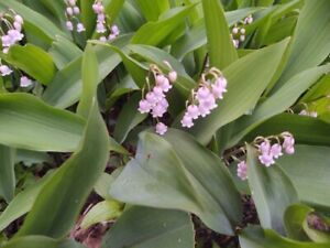 6 Plants Bare Root (pips) Pink Lily Of The Valley Convallaria Rosea Rare