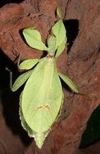Eggs of Phyllium Philippinicum x 30 / leaf insect / phasmids