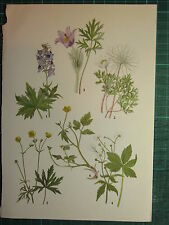 VINTAGE BOTANICAL BOTANY PRINT ~ BUTTERCUP PASQUE FLOWER MEADOW CREEPING CUP