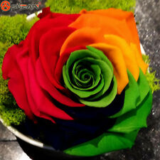 50 Rainbow Rose seeds DIY Home Garden Colorful Rose Flower Plant