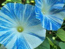 Morning Glory Flying Saucers 25 seeds Ipomoea purpurea * Huge Bloom * CombSH B74