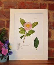 Botanical Giclée Vintage Print (Camellia) by RHS artist Alfred Wise