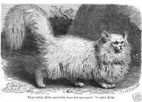 ANGORAKATZE (Felis maniculata angorensis) Holzstich von 1891 KATZE KATZEN